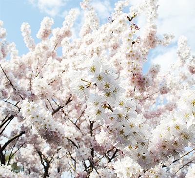 桜ほか春の花々がお出迎え