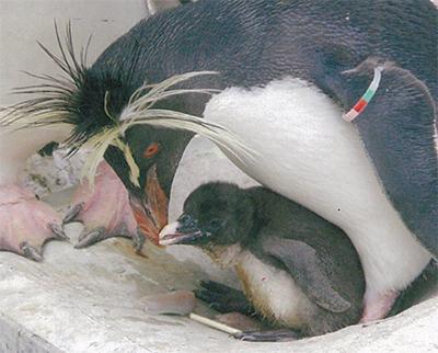 キタイワトビペンギンの雛誕生
