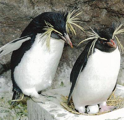 ペンギンの抱卵姿が人気
