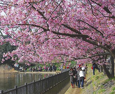 1千本の河津桜で出迎え
