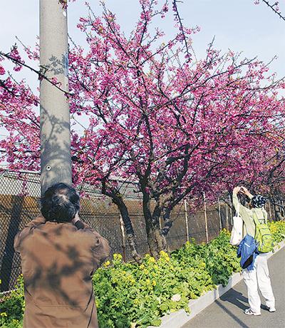 河津桜で一足早い春を
