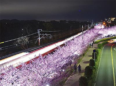 夜に輝く満開の桜