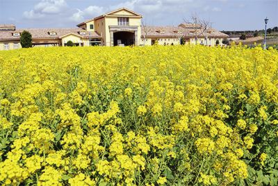 咲き誇る5千本の菜の花
