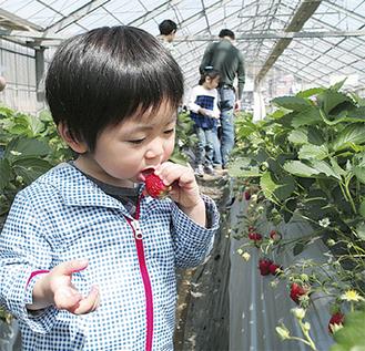 摘みたてイチゴをパクリ