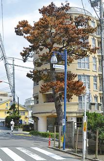 葉が茶色く変色し、枯死が進む松の木(=10日撮影)