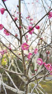 濃いピンク色の花をつけた紅梅(=27日、撮影)