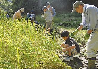 虹の会メンバーの手ほどきで稲を刈る池子小の児童