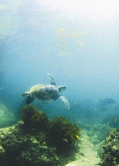 芝崎海岸沖で目撃されたアオウミガメ(提供:ダイビングショップナナ)