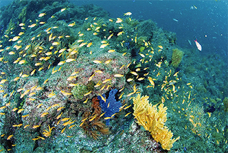 逗子沖で撮影されたサンゴとキンギョハナダイ(長島敏春さん提供)