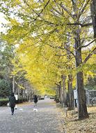 秋深まり黄金色