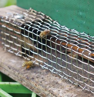 後ろ足に黄色い花粉の塊をつけて帰巣したハチ巣門の金網はスズメバチ除けのもの