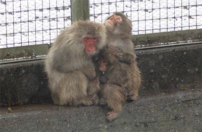 親子で寄り添い「サル団子」