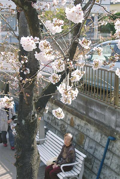 桜、ふわり
