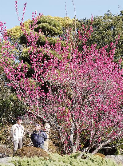 春の陽気、紅梅鮮やか