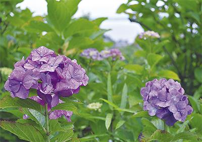 梅雨空彩る薄紫