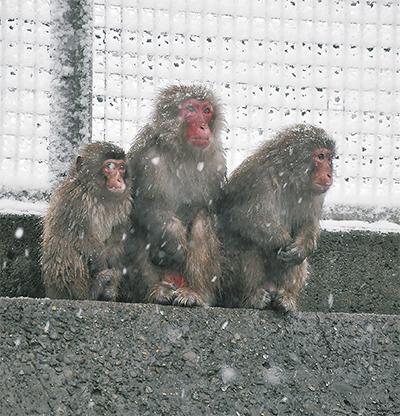 サルにも堪える寒さ