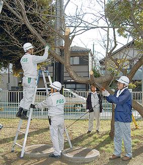 桜の木の枝を切り保護剤を塗る