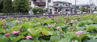 池一面に咲いたハス