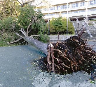 ヒマラヤ杉が倒れた(写真提供・六会小学校)