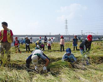 藤沢ライオンズクラブ会員の指導の下、慎重に行われた刈り取り作業