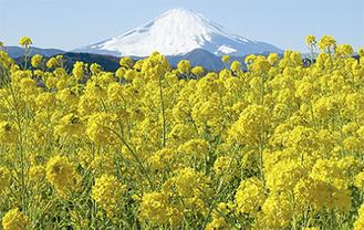 富士山を背に咲き誇る吾妻山の菜の花