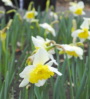 白と黄のコントラストが鮮やかなスイセン(3月24日撮影)