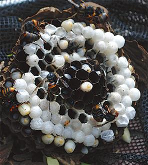 駆除されたスズメバチの巣
