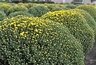黄色が鮮やかなざる菊