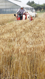 中里小学校南部で行われた収穫の様子