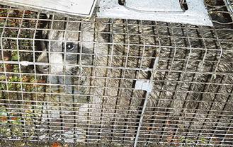 捕獲されたアライグマ(写真提供・藤沢市)