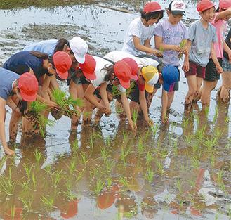 一列に並んで田植えをしていく児童ら