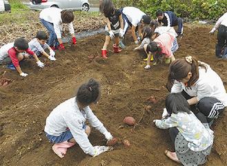 芋掘りに夢中になる児童ら