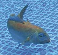 本物そっくり魚ロボット