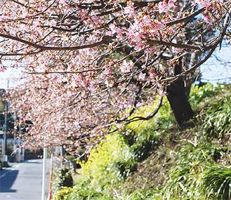 2月7日現在、3〜4分咲きの河津桜。菜の花とともに一足早い春の訪れを告げている