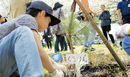 クロマツの苗木植え付け