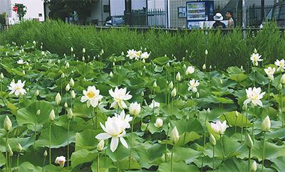 舞妃蓮が咲く第一はす池(6月9日撮影)