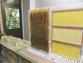 巣の右側に新しい巣箱を設置されている。左側にあるパイプから出入口を通るミツバチも観察できる