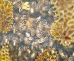 巣の中のミツバチ
