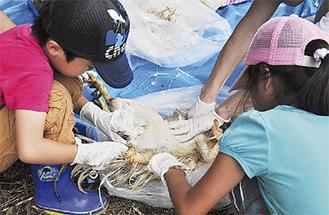 羽抜きを手伝う年長(左)と小学2年の女児「鶏のお腹はふわふわしてあたたかった」