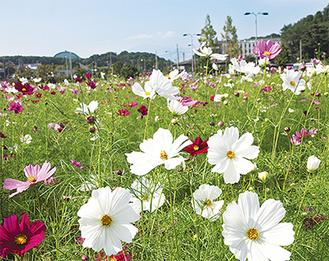 色とりどりの花をつけたコスモス(10月10日撮影)