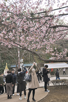 スマートフォンをかざし河津桜を撮る観光客ら(=2月24日、江の島)