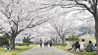 約200本のソメイヨシノが咲き乱れる引地川親水公園(=27日撮影)