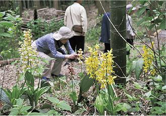 黄や白の花をつけるエビネ(=16日、えびね・やまゆり園)