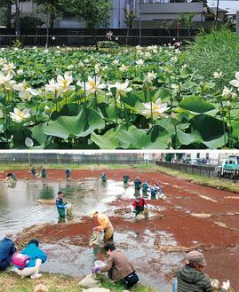 池一面に咲き誇る舞妃蓮(上・6月12日撮影)と浮草を駆除するメンバーら(12年11月=写真提供)