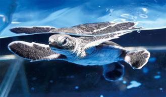 先月4日に生まれたアオウミガメの赤ちゃん(同館提供)