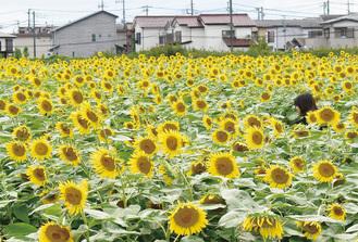 畑一面を黄一色に染めるヒマワリ(=10日撮影)