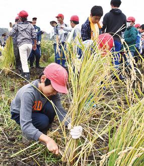 一生懸命、稲を刈る児童(=11日、稲荷)