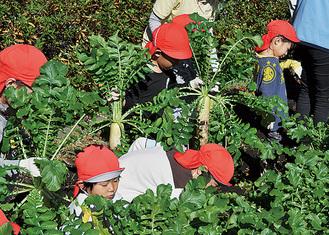 収穫作業を体験する園児たち