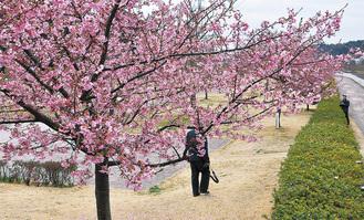 引地川新水公園に植栽されている河津桜(=2月27日)