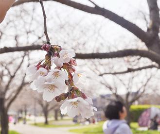 引地川親水公園のソメイヨシノ(=27日撮影)